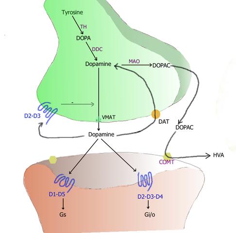 Alternativ Behandling Parkinson's  Disease hjernen Substantia nigra synapse