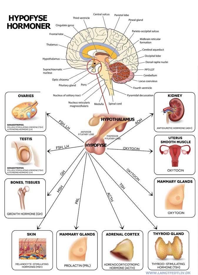 Fibromyalgi alternativ helbredelse. fibromyalgi og hyposyse hormon systemet